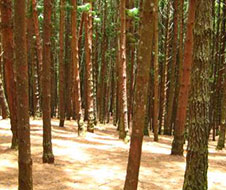 Pine_Forest_img1